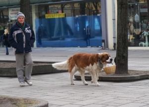 Kauniečiai jau nebesistebi A. Bako augintine, ramiai vaikštinėjančia gatvėmis. Autorės nuotr.